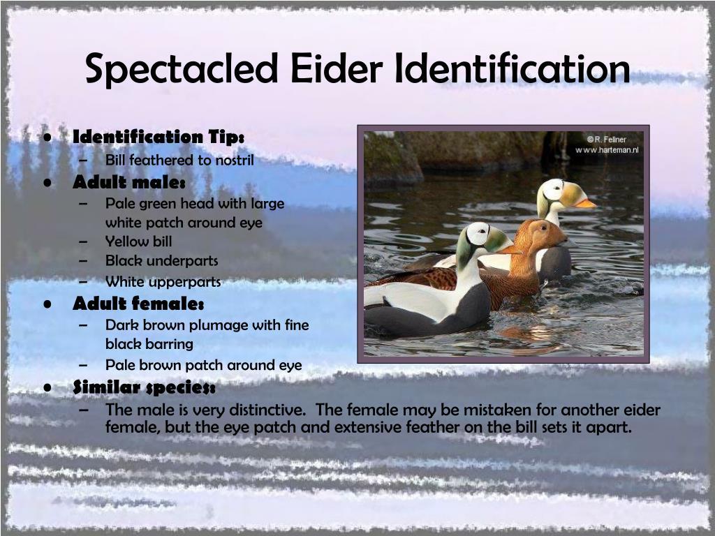 Spectacled Eider Identification