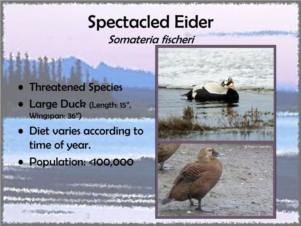 Spectacled Eider