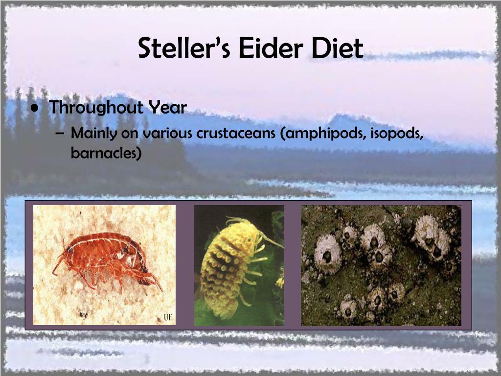 Steller's Eider Diet