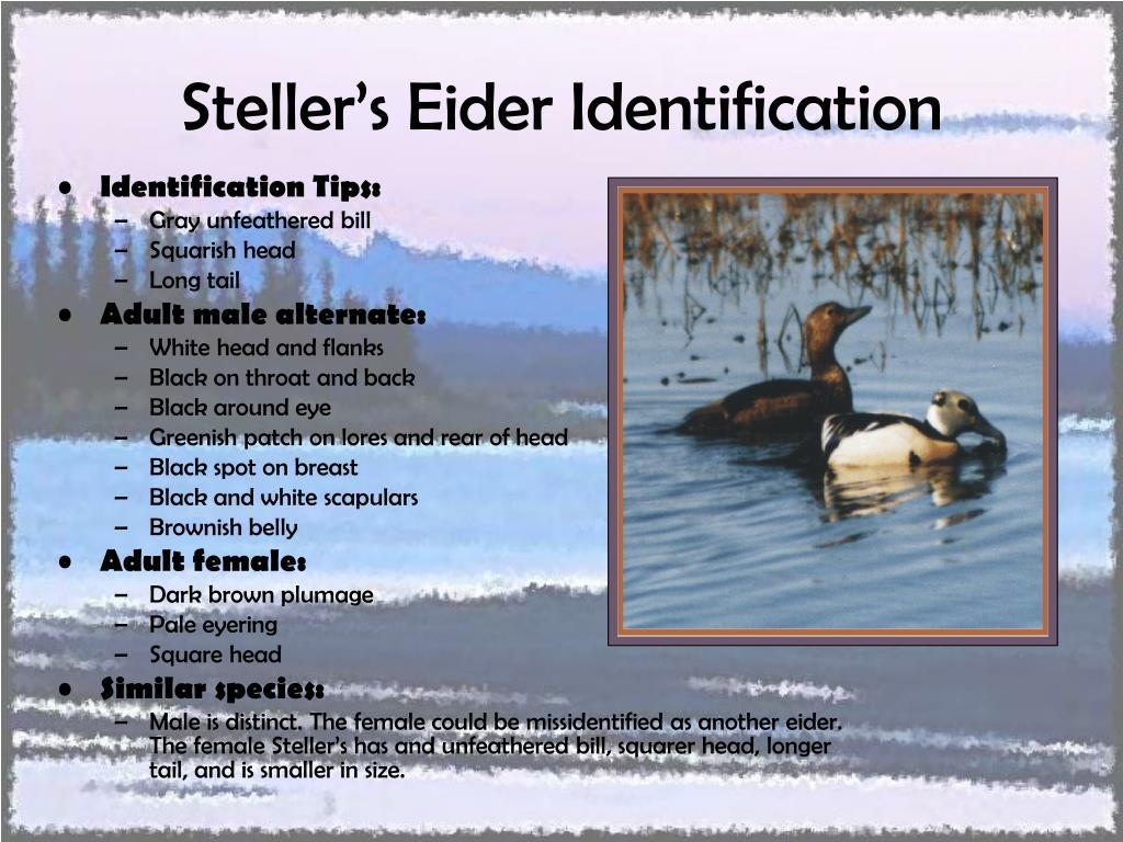 Steller's Eider Identification