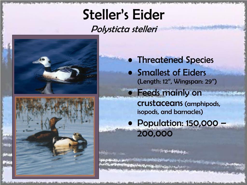 Steller's Eider