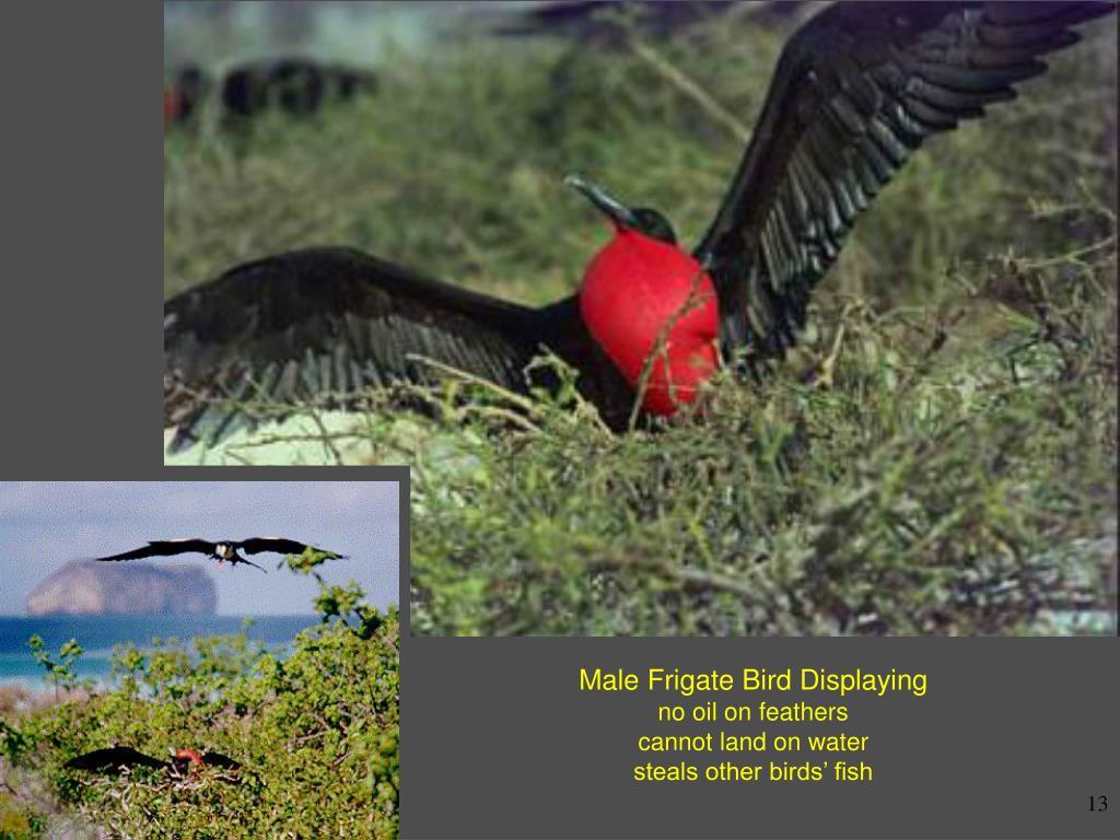 Male Frigate Bird Displaying