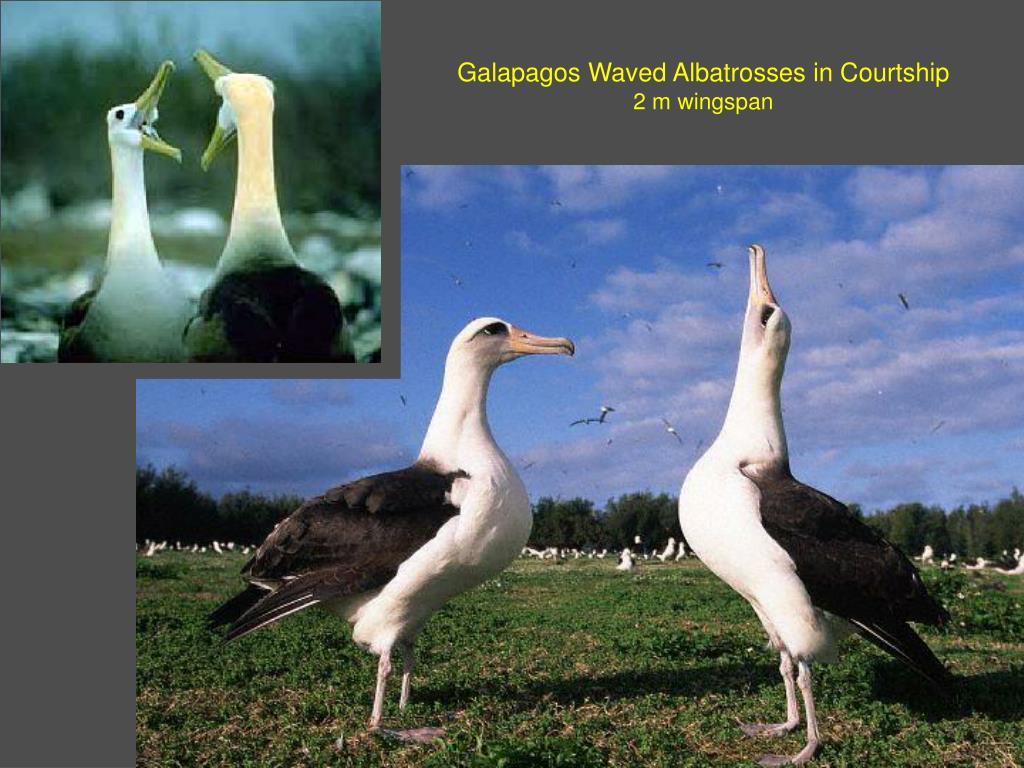 Galapagos Waved Albatrosses in Courtship