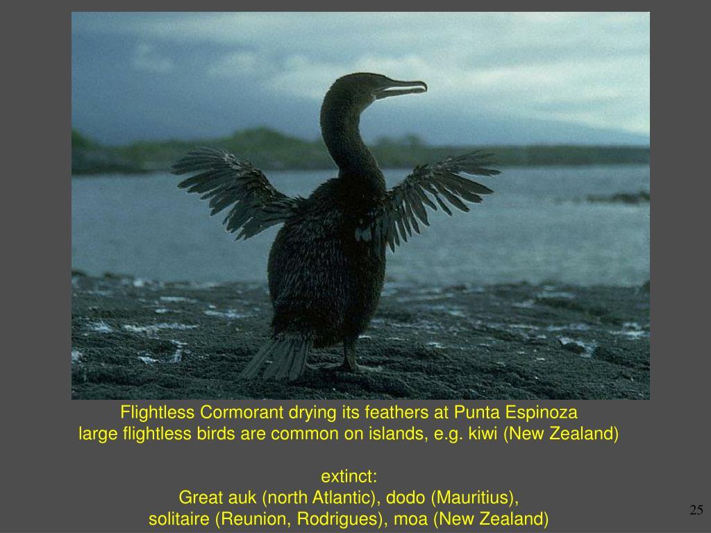 Flightless Cormorant drying its feathers at Punta Espinoza