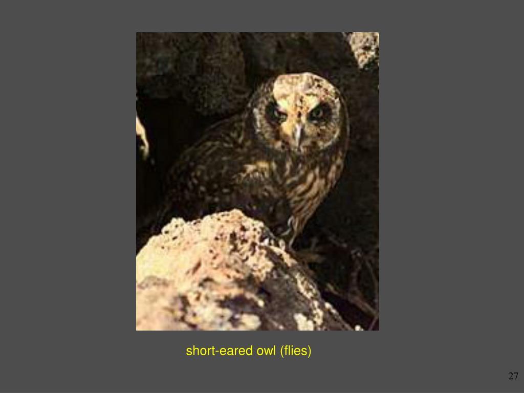 short-eared owl (flies)
