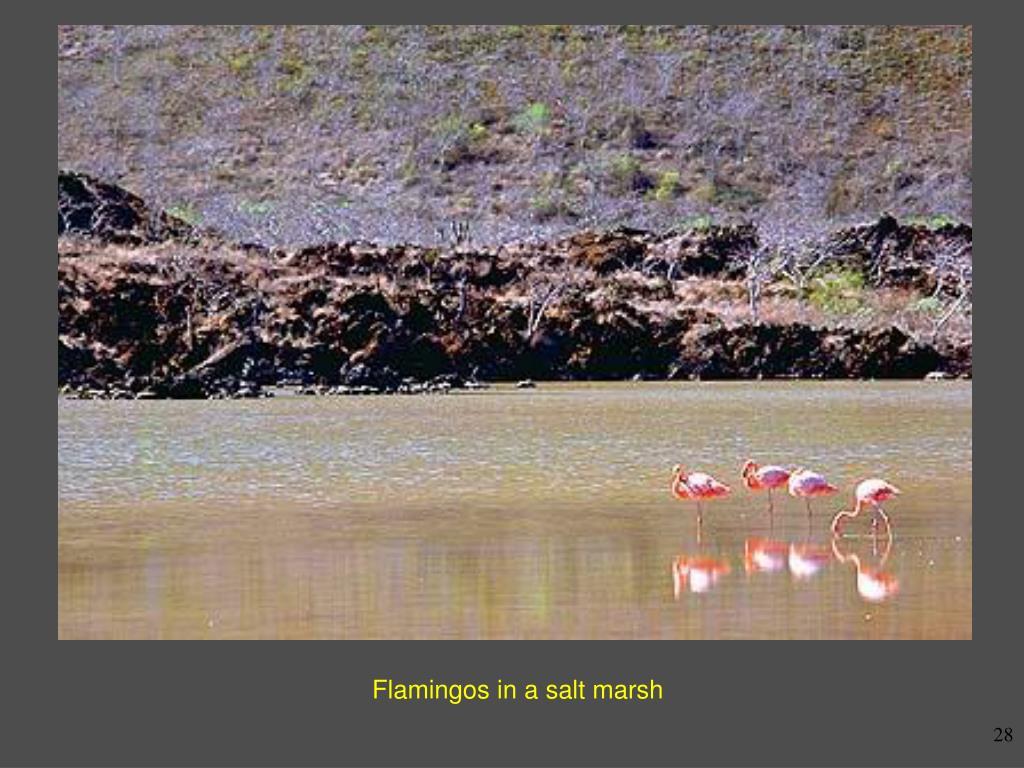 Flamingos in a salt marsh