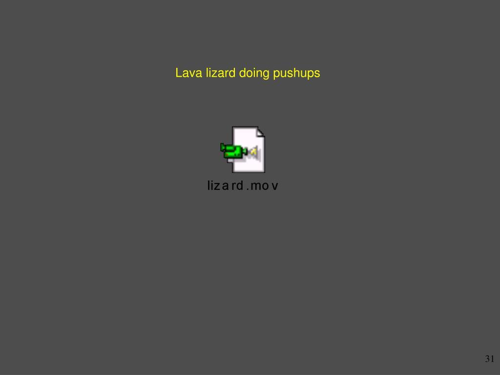Lava lizard doing pushups