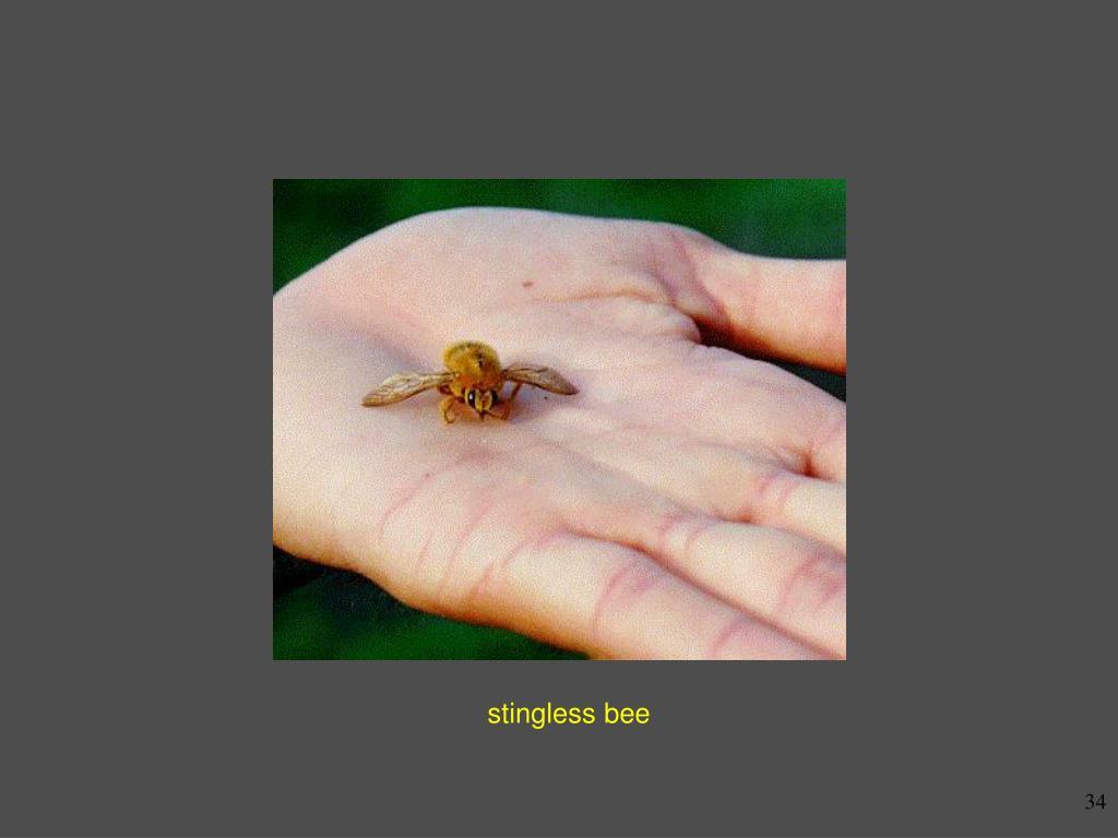 stingless bee
