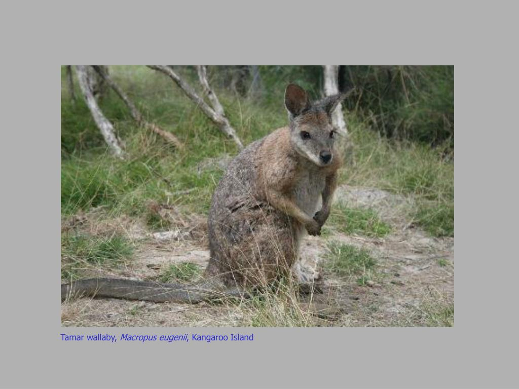 Tamar wallaby,