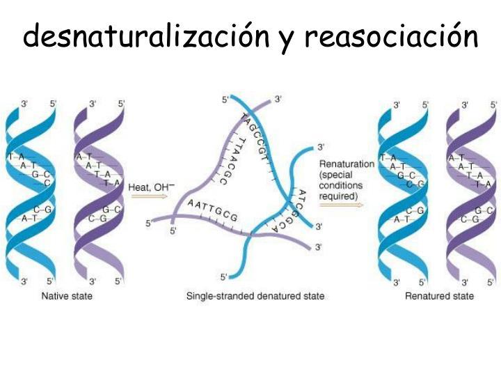 desnaturalización y reasociación