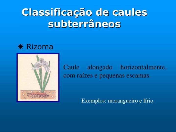 Classificação de caules subterrâneos