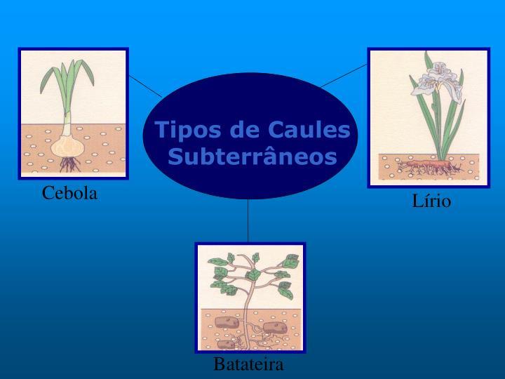 Tipos de Caules Subterrâneos