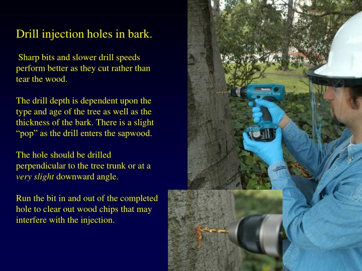 Drill injection holes in bark.