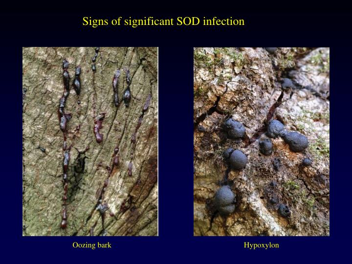 Signs of significant SOD infection