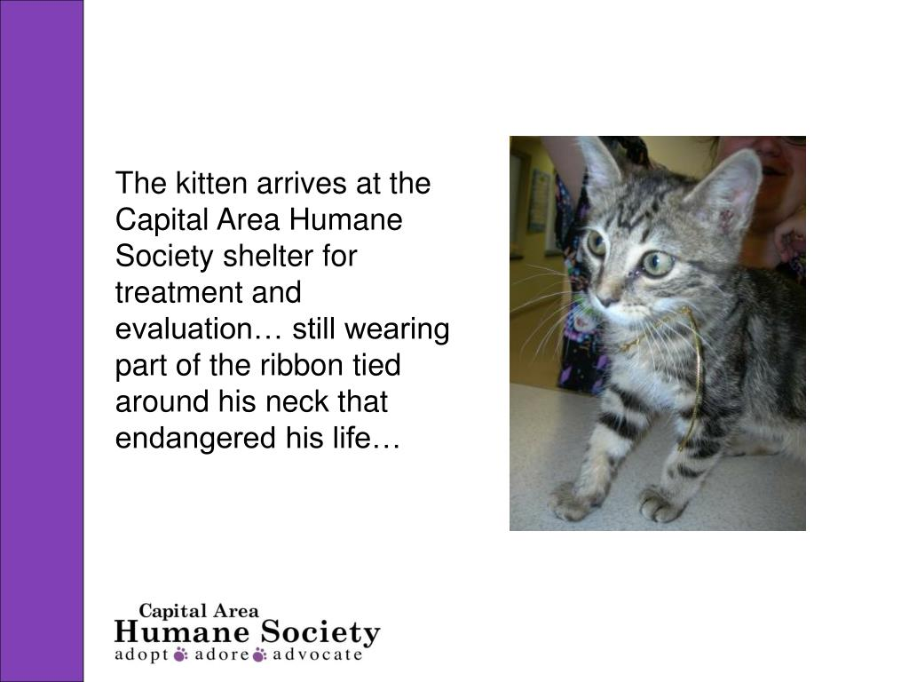 The kitten arrives at the Capital Area Humane Society shelter for treatment and evaluation… still wearing part of the ribbon tied around his neck that endangered his life…