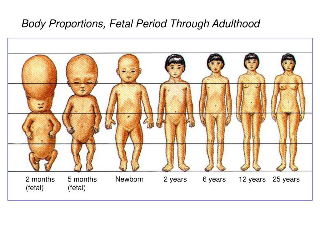 Body Proportions, Fetal Period Through Adulthood