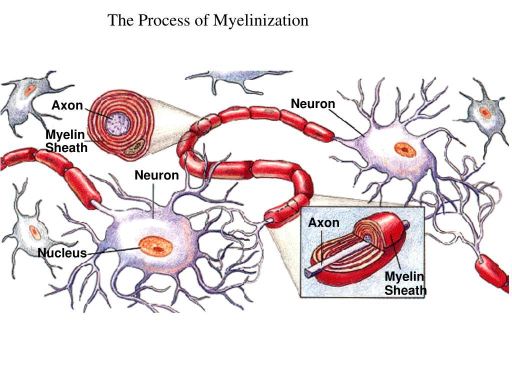 The Process of Myelinization