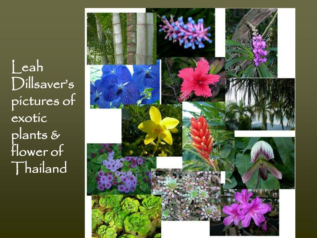Leah Dillsaver's pictures of exotic plants & flower of Thailand