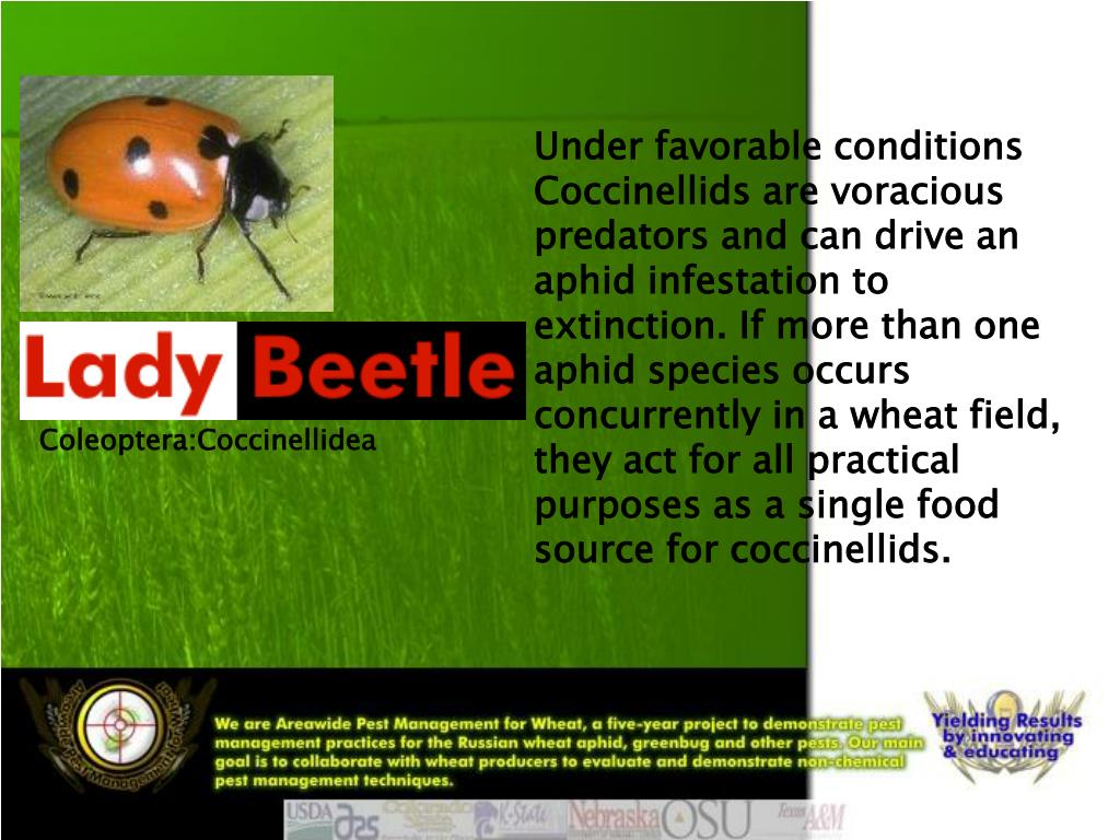 Under favorable conditions Coccinellids are voracious predators and can drive an aphid infestation to extinction. If more than one aphid species occurs concurrently in a wheat field, they act for all practical purposes as a single food source for coccinellids.