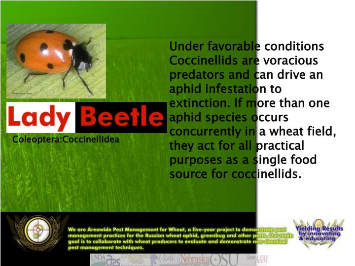 Under favorable conditions Coccinellids are voracious predators and can drive an aphid infestation t...