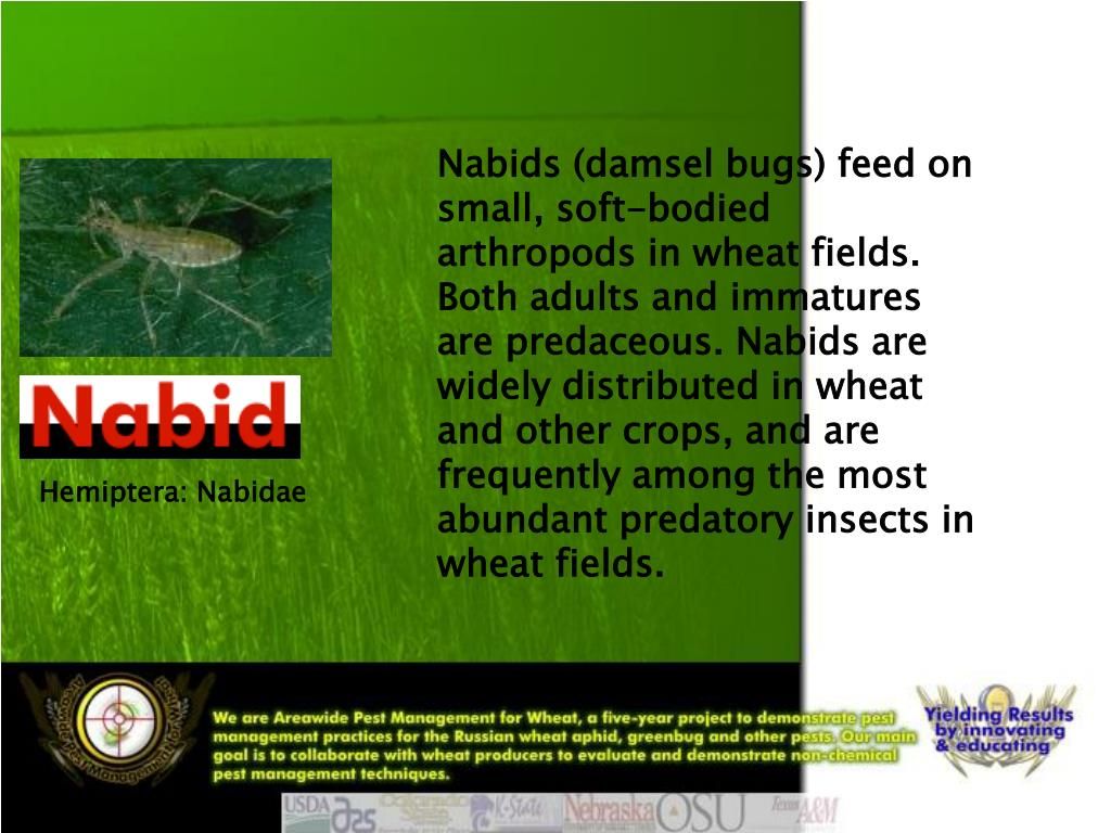 Nabids (damsel bugs) feed on small, soft-bodied arthropods in wheat fields. Both adults and immatures are predaceous. Nabids are widely distributed in wheat and other crops, and are frequently among the most abundant predatory insects in wheat fields.