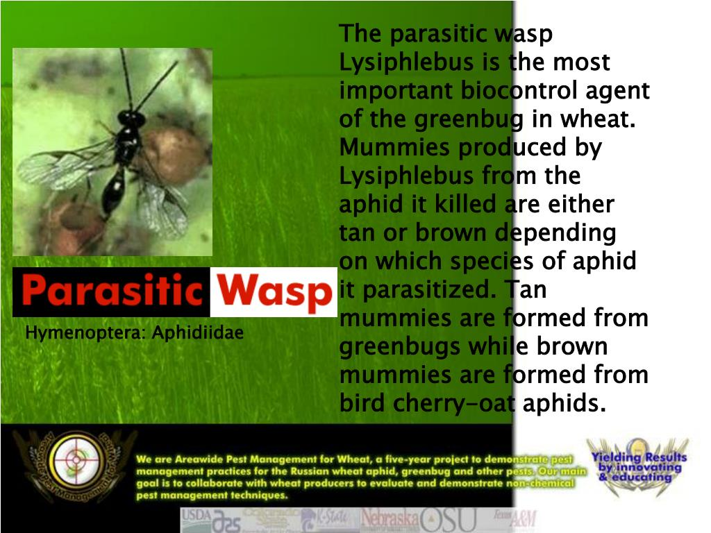 The parasitic wasp Lysiphlebus is the most important biocontrol agent of the greenbug in wheat. Mummies produced by Lysiphlebus from the aphid it killed are either tan or brown depending on which species of aphid it parasitized. Tan mummies are formed from greenbugs while brown mummies are formed from bird cherry-oat aphids.