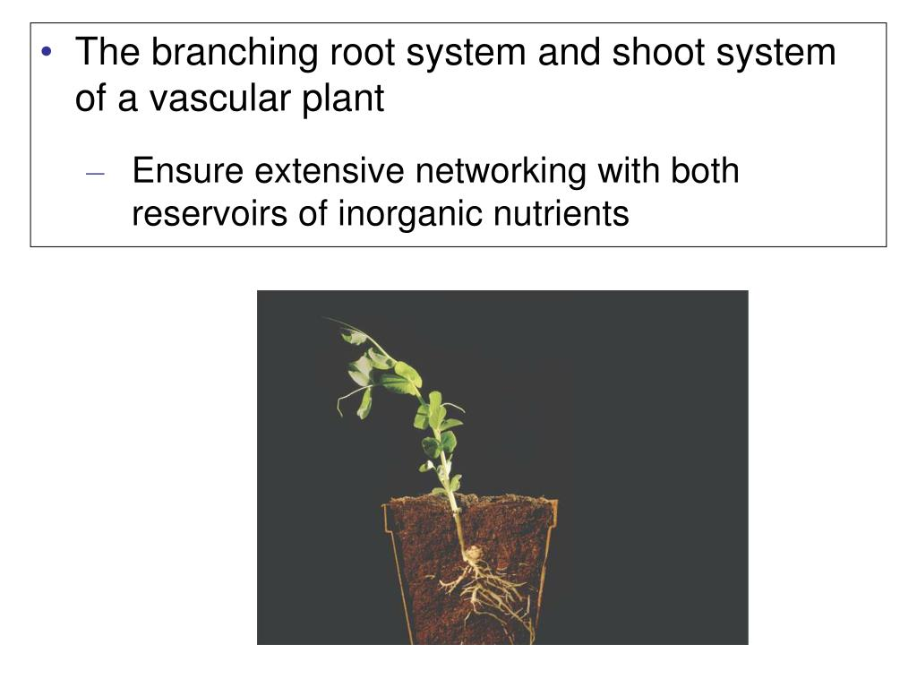 The branching root system and shoot system of a vascular plant