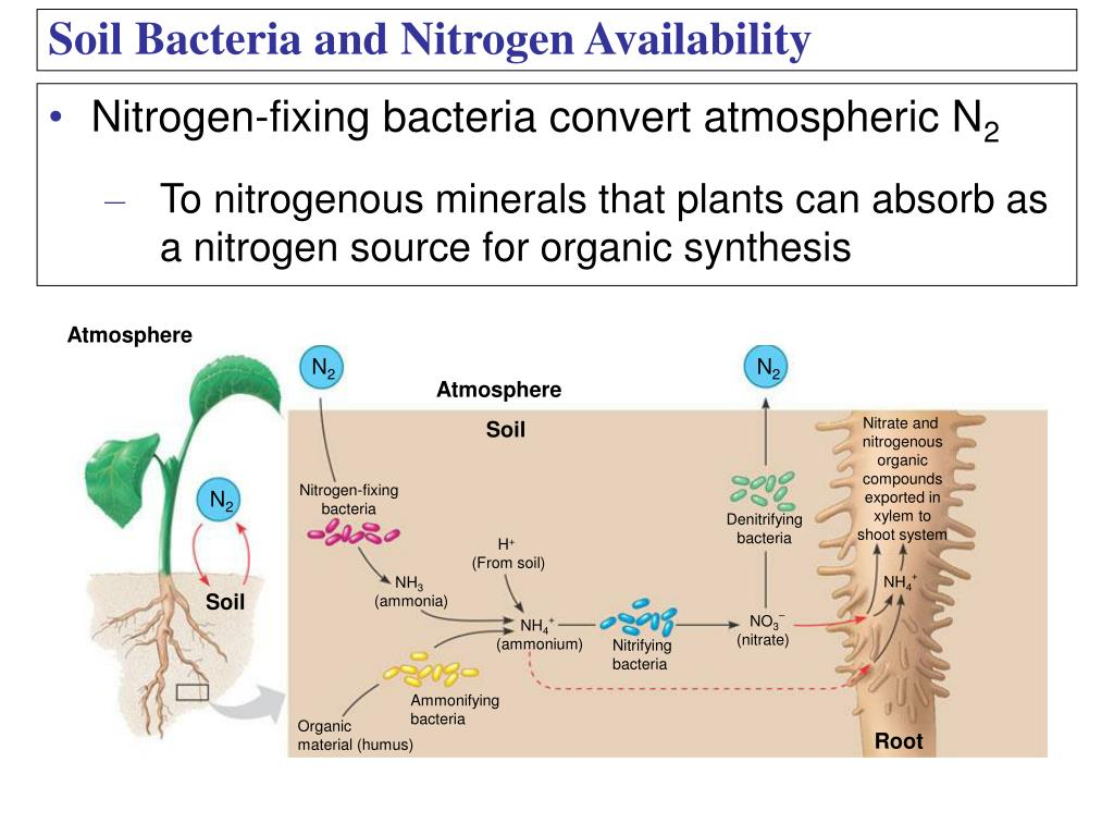 Nitrogen-fixing bacteria convert atmospheric N