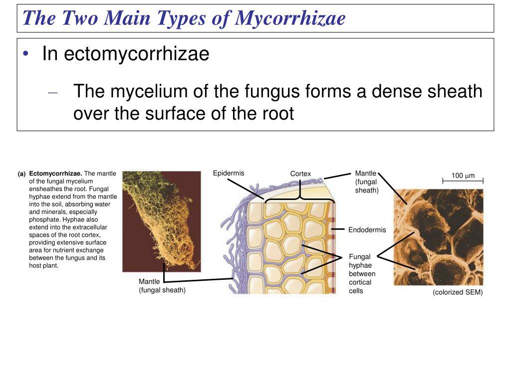 In ectomycorrhizae