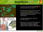 brucella spp