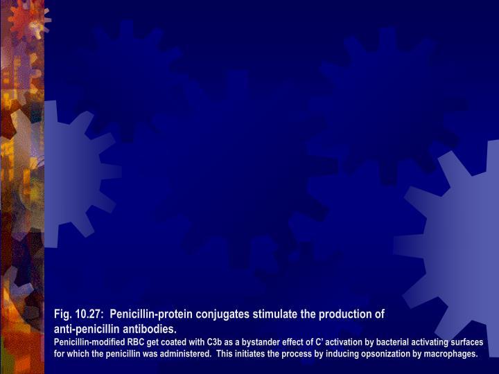 Fig. 10.27:  Penicillin-protein conjugates stimulate the production of