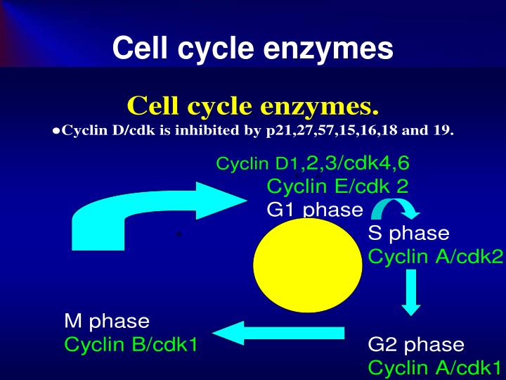Cell cycle enzymes
