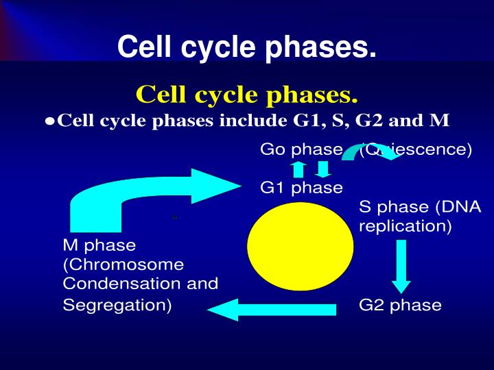 Cell cycle phases.