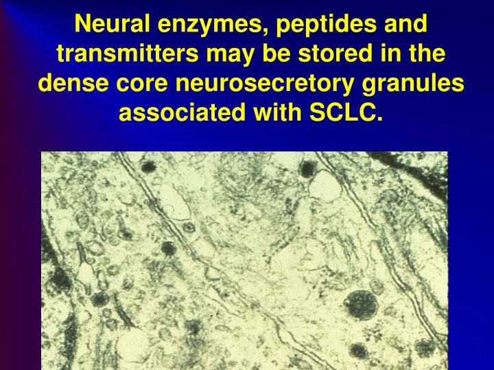 Neural enzymes, peptides and transmitters may be stored in the dense core neurosecretory granules associated with SCLC.