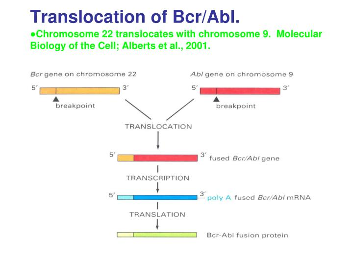 Translocation of Bcr/Abl.