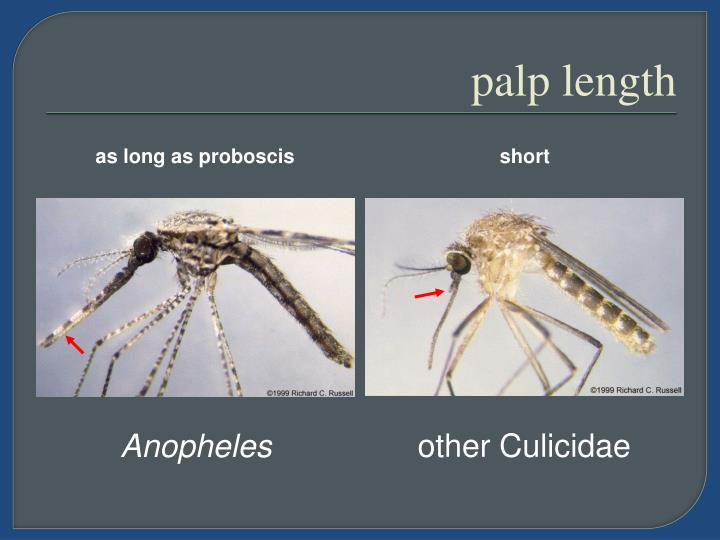 as long as proboscis