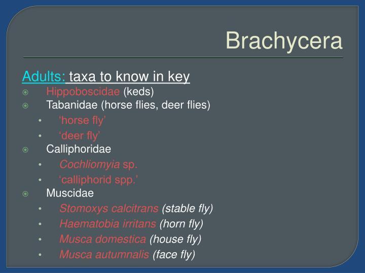 Brachycera