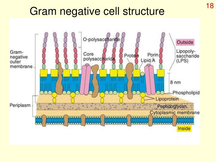 Gram negative cell structure