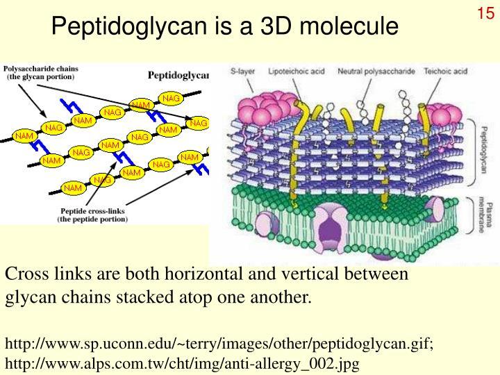 Peptidoglycan is a 3D molecule