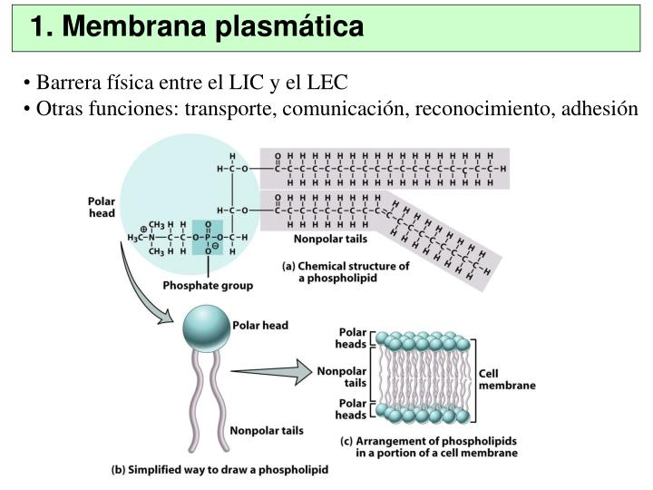 1. Membrana plasmática