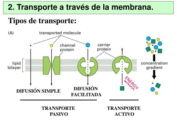 2. Transporte a través de la membrana.