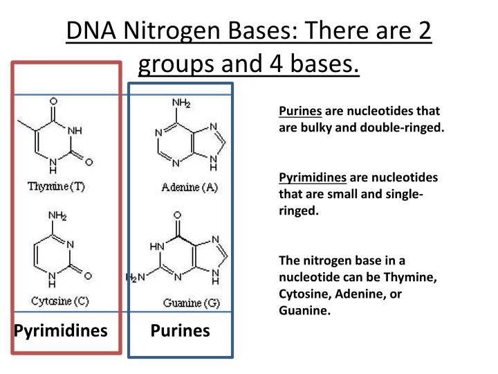 DNA Nitrogen Bases: There are 2 groups and 4 bases.