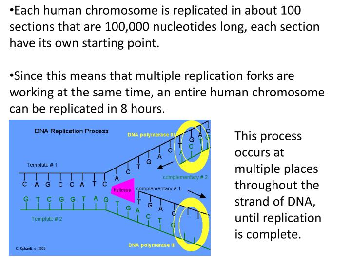 Each human chromosome is replicated in about 100 sections that are 100,000 nucleotides long, each section have its own starting point.