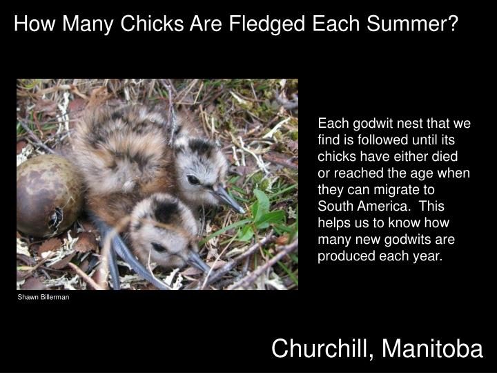 How Many Chicks Are Fledged Each Summer?