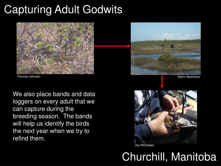 Capturing Adult Godwits