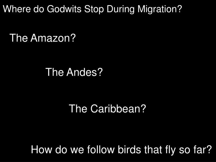 Where do Godwits Stop During Migration?