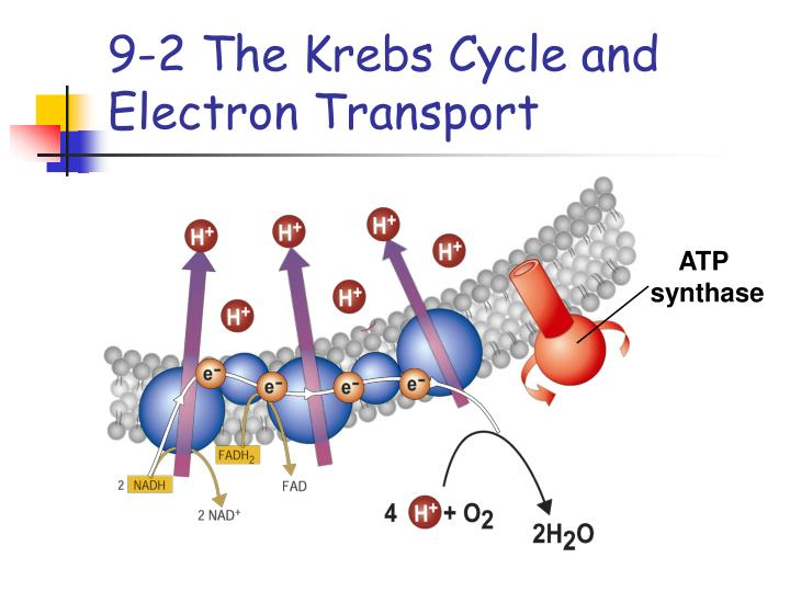 9-2 The Krebs Cycle and Electron Transport