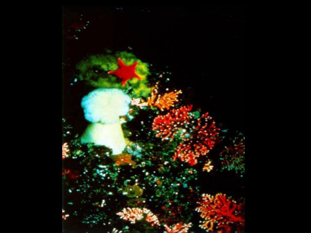 33. Metridium anemone
