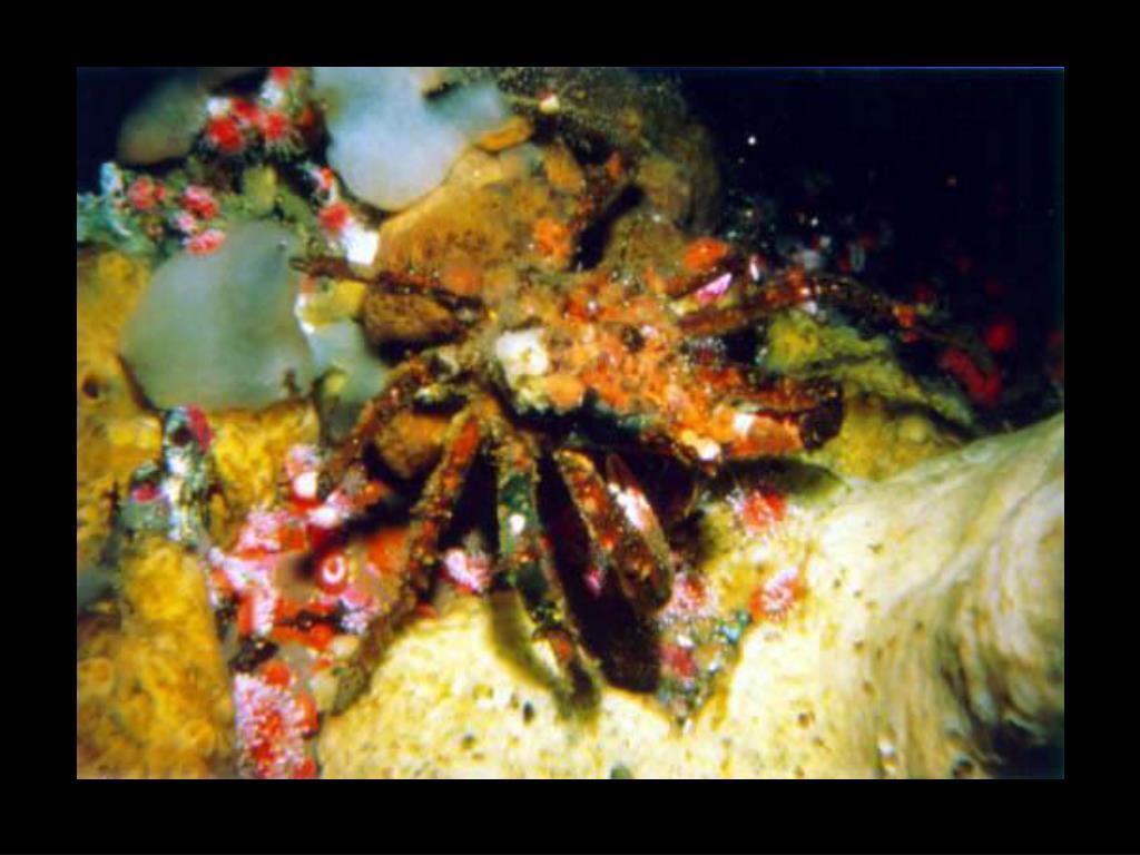 34. Decorator crab