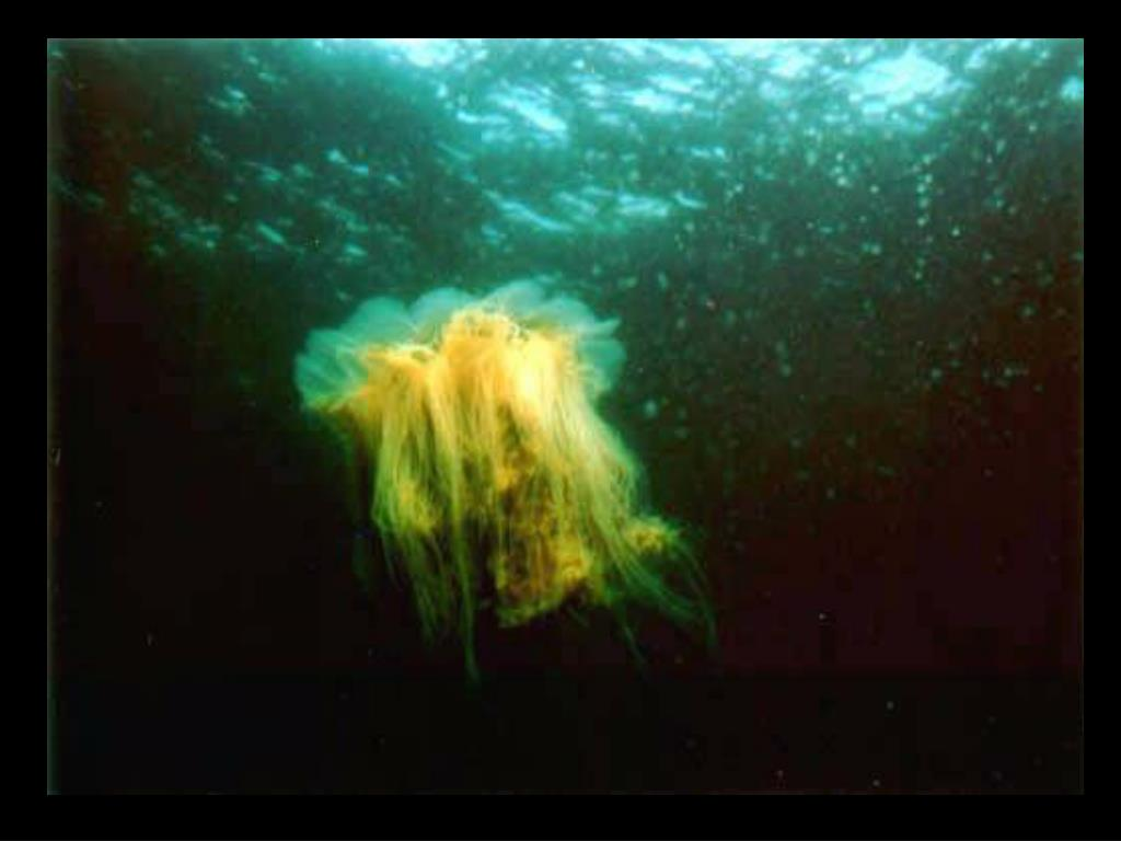 37. Lion's Mane jelly